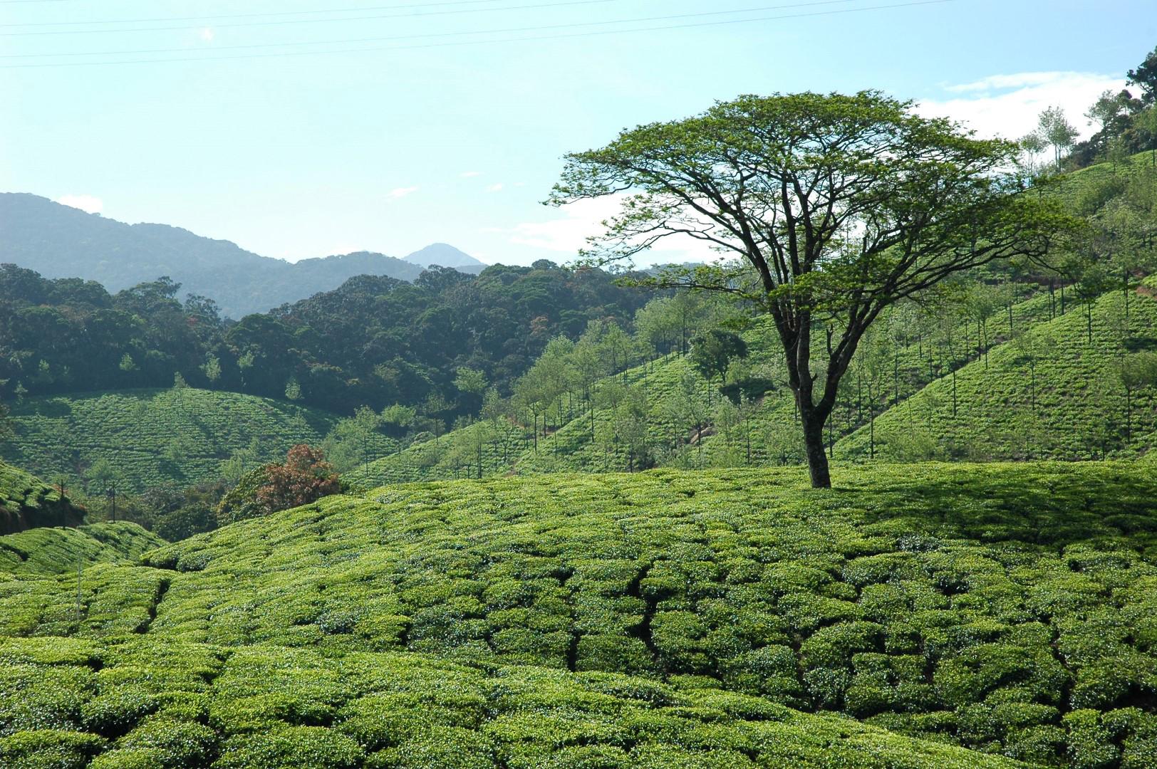 Das bild zeigt eine Teeplantage